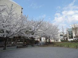 キャンパス桜.JPG
