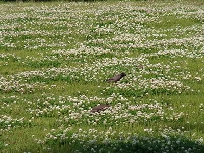 シロツメクサと鳥.JPG