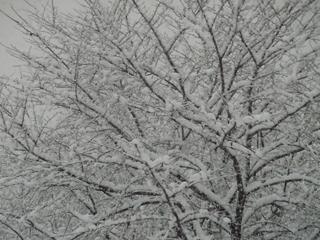 木々に降り積もる雪.JPG