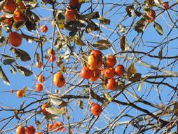 紅葉 柿.jpg